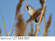 Купить «Bearded reedling or Bearded tit (Panurus biarmicus) male in reeds, Qai Dam Basin,  Tibetan Plateau, Qinghai, China», фото № 27564561, снято 27 марта 2019 г. (c) Nature Picture Library / Фотобанк Лори