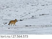 Купить «Tibetan wolf (Canis lupus) in snow, Keke Xili, Changtang, Tibetan Plateau, Qinghai, China», фото № 27564573, снято 21 марта 2019 г. (c) Nature Picture Library / Фотобанк Лори