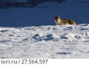 Купить «Tibetan wolf (Canis lupus) in snow, Keke Xili, Changtang, Tibetan Plateau, Qinghai, China», фото № 27564597, снято 21 марта 2019 г. (c) Nature Picture Library / Фотобанк Лори