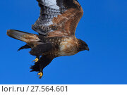 Купить «Upland buzzard (Buteo hemilasius), Tibetan Plateau, Qinghai, China», фото № 27564601, снято 19 января 2019 г. (c) Nature Picture Library / Фотобанк Лори