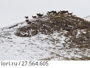 Купить «White-lipped or Thorold's deer (Cervus albirostris) herd on mountain, Yushu, Tibetan Plateau, Qinghai, China», фото № 27564605, снято 27 мая 2019 г. (c) Nature Picture Library / Фотобанк Лори