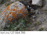 Купить «Gansu pika (Ochotona cansus), endemic to  China, Tibetan Plateau, Qinghai, China», фото № 27564785, снято 19 января 2019 г. (c) Nature Picture Library / Фотобанк Лори