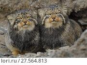 Купить «Pallas's cat (Otocolobus manul), two sitting side by side, Qinghai, China», фото № 27564813, снято 22 марта 2019 г. (c) Nature Picture Library / Фотобанк Лори