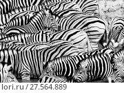 Купить «Black and white view of Plains Zebra (Equus quagga) herd, Etosha National Park, Kunene, Namibia .», фото № 27564889, снято 24 февраля 2018 г. (c) Nature Picture Library / Фотобанк Лори