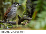 Купить «Jocotoco antpittta (Grallaria ridgelyi) Tapichalaca Reserve, Loja, Ecuador.», фото № 27565081, снято 18 октября 2019 г. (c) Nature Picture Library / Фотобанк Лори