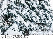 Заснеженные голубые ели (Picea pungens) зимой покрытые толстым слоем снега. Стоковое фото, фотограф Алёшина Оксана / Фотобанк Лори