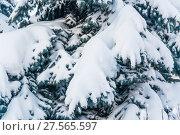 Купить «Заснеженная лапа голубой ели (Picea pungens) после сильного снегопада», фото № 27565597, снято 6 февраля 2018 г. (c) Алёшина Оксана / Фотобанк Лори