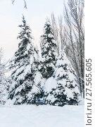 Купить «Заснеженные голубые ели (Picea pungens) после снегопада в Москве», фото № 27565605, снято 6 февраля 2018 г. (c) Алёшина Оксана / Фотобанк Лори