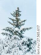 Заснеженная голубая ель (Picea pungens) и кустарник боярышника после снегопада (2018 год). Стоковое фото, фотограф Алёшина Оксана / Фотобанк Лори