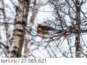 Купить «Дрозд рябинник (Turdus pilaris), сидящий на ветке боярышника», фото № 27565621, снято 6 февраля 2018 г. (c) Алёшина Оксана / Фотобанк Лори