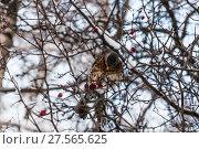 Купить «Дрозд рябинник (Turdus pilaris), сидящий на ветке боярышника», фото № 27565625, снято 6 февраля 2018 г. (c) Алёшина Оксана / Фотобанк Лори
