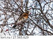 Купить «Дрозд рябинник (Turdus pilaris) на ветке боярышника зимой», фото № 27565629, снято 6 февраля 2018 г. (c) Алёшина Оксана / Фотобанк Лори