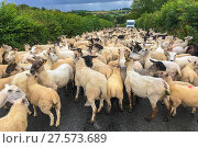 Купить «Flock of sheep blocking road, Monmouthshire Wales UK, July.», фото № 27573689, снято 16 августа 2018 г. (c) Nature Picture Library / Фотобанк Лори