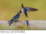 Купить «Barn swallow (Hirundo rustica) parent feeding fledgling, Monmouthshire Wales, UK, July.», фото № 27573693, снято 16 августа 2018 г. (c) Nature Picture Library / Фотобанк Лори