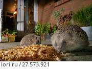 Купить «Two Hedgehogs (Erinaceus europaeus) feeding on mealworms and oatmeal left out for them on a patio, watched by home owners, Chippenham, Wiltshire, UK, August...», фото № 27573921, снято 21 июля 2018 г. (c) Nature Picture Library / Фотобанк Лори