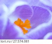 Купить «Crocus flower (Crocus sp) stigma - close up.», фото № 27574081, снято 18 июля 2018 г. (c) Nature Picture Library / Фотобанк Лори
