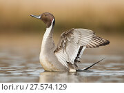 Купить «Northern pintail (Anas acuta) drake stretching its wings on a small pond,  Ladner, British Columbia, Canada.», фото № 27574129, снято 20 августа 2018 г. (c) Nature Picture Library / Фотобанк Лори