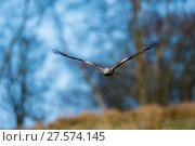 Купить «Red kite (Milvus milvus) in flight, Gigrin Farm, Powys, Wales, UK, April.», фото № 27574145, снято 16 июля 2018 г. (c) Nature Picture Library / Фотобанк Лори