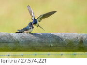 Купить «Barn swallow (Hirundo rustica) adult feeding fledgling, Monmouthshire, Wales, UK, July.», фото № 27574221, снято 16 августа 2018 г. (c) Nature Picture Library / Фотобанк Лори