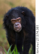 Купить «Eastern chimpanzee (Pan troglodytes schweinfurtheii) adolescent male 'Tom' aged 12 years walking . Gombe National Park, Tanzania.», фото № 27574381, снято 28 января 2020 г. (c) Nature Picture Library / Фотобанк Лори