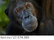 Купить «Eastern chimpanzee (Pan troglodytes schweinfurtheii) female 'Nasa' aged 25 years portrait . Gombe National Park, Tanzania.», фото № 27574385, снято 20 января 2020 г. (c) Nature Picture Library / Фотобанк Лори