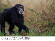Купить «Eastern chimpanzee (Pan troglodytes schweinfurtheii) male 'Sheldon' aged 30 years walking along a trail . Gombe National Park, Tanzania.», фото № 27574389, снято 28 января 2020 г. (c) Nature Picture Library / Фотобанк Лори