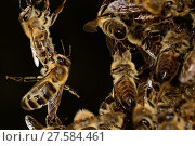 Купить «Honey bees (Apis mellifera) forming living bridge,  Kiel, Germany, June.», фото № 27584461, снято 20 августа 2018 г. (c) Nature Picture Library / Фотобанк Лори