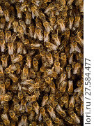 Купить «Honey bee (Apis mellifera) swarm. Kiel Germany, June.», фото № 27584477, снято 22 июля 2018 г. (c) Nature Picture Library / Фотобанк Лори