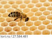 Купить «Honey bee (Apis mellifera) on comb with honey, Kiel, Germany, June.», фото № 27584481, снято 5 августа 2020 г. (c) Nature Picture Library / Фотобанк Лори