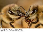 Купить «Honeybee (Apis mellifera) trophallaxis - transfer of nectar from one bee to another, Kiel, Germany.», фото № 27584493, снято 22 апреля 2018 г. (c) Nature Picture Library / Фотобанк Лори