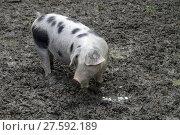 Купить «bentheim pig», фото № 27592189, снято 25 марта 2019 г. (c) PantherMedia / Фотобанк Лори