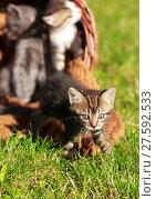 Купить «Little  Kittens in a basket», фото № 27592533, снято 19 ноября 2018 г. (c) PantherMedia / Фотобанк Лори