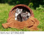 Купить «Little  Kittens in a basket», фото № 27592633, снято 19 ноября 2018 г. (c) PantherMedia / Фотобанк Лори