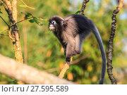Купить «Dusky Langur sitting on tree branch», фото № 27595589, снято 22 марта 2019 г. (c) PantherMedia / Фотобанк Лори
