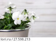 Купить «white viola in a planter in front of a wooden wall», фото № 27598213, снято 25 мая 2019 г. (c) PantherMedia / Фотобанк Лори