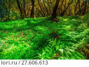 Купить «Fern in Garajonay national park», фото № 27606613, снято 27 марта 2019 г. (c) easy Fotostock / Фотобанк Лори