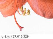 Купить «Closeup of pollen grains on the stamen of an amaryllis», фото № 27615329, снято 5 июня 2020 г. (c) PantherMedia / Фотобанк Лори