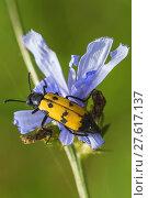 Купить «variegated oil beetle mylabis variabillis on chicory», фото № 27617137, снято 21 октября 2018 г. (c) PantherMedia / Фотобанк Лори