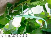 Купить «Гигантский индонезийский палочник Leaf-Insect», фото № 27617213, снято 12 января 2018 г. (c) Галина Савина / Фотобанк Лори