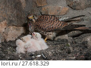 Купить «Female Kestrel (Falco tunninculus) feeding chicks in nest, France, May.», фото № 27618329, снято 18 июля 2018 г. (c) Nature Picture Library / Фотобанк Лори