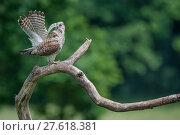 Купить «Female Kestrel (Falco tunninculus) shaking feathers to remove dust and parasites, France, June.», фото № 27618381, снято 18 июля 2018 г. (c) Nature Picture Library / Фотобанк Лори