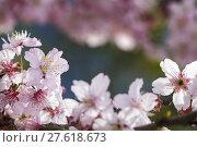 Купить «Sakura. Cherry Blossom in Taiwan. Beautiful Pink Flowers», фото № 27618673, снято 19 сентября 2019 г. (c) PantherMedia / Фотобанк Лори