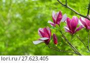 Купить «Purple magnolia flower on a branch background», фото № 27623405, снято 21 февраля 2019 г. (c) PantherMedia / Фотобанк Лори