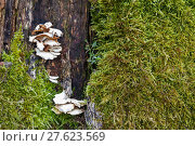 Купить «dead oak snag biotop lichens», фото № 27623569, снято 19 октября 2018 г. (c) PantherMedia / Фотобанк Лори