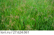 Купить «Wild grass in droplets of water after rain in summer», видеоролик № 27624061, снято 11 июня 2017 г. (c) Володина Ольга / Фотобанк Лори