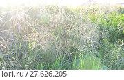 Купить «wild grass waving in strong wind On the Sunset», видеоролик № 27626205, снято 13 июня 2017 г. (c) Володина Ольга / Фотобанк Лори