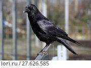 Купить «bird birds daw crow raven», фото № 27626585, снято 16 февраля 2019 г. (c) PantherMedia / Фотобанк Лори