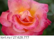 Купить «Damask rose - Rosa damascena», фото № 27628777, снято 22 марта 2019 г. (c) PantherMedia / Фотобанк Лори
