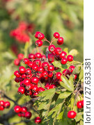 Купить «Mature nice red hawthorn berries», фото № 27633381, снято 25 мая 2019 г. (c) PantherMedia / Фотобанк Лори