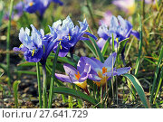 Купить «dwarf irises with crocuses in early spring blue», фото № 27641729, снято 24 февраля 2018 г. (c) PantherMedia / Фотобанк Лори